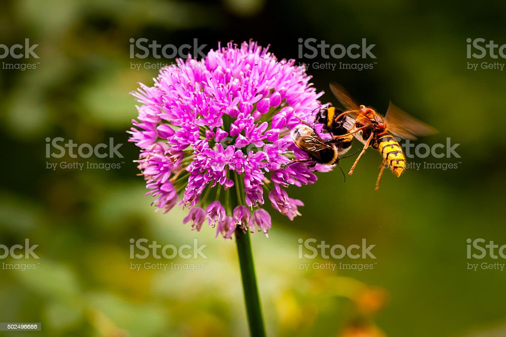 Hornet attacking a bumble bee stock photo