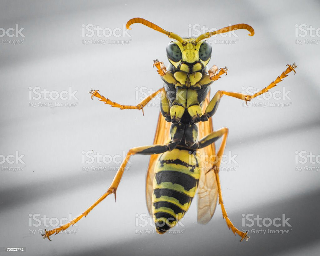 Hornet Clinging To Window stock photo