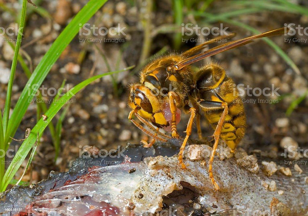 Hornet eats fish royalty-free stock photo