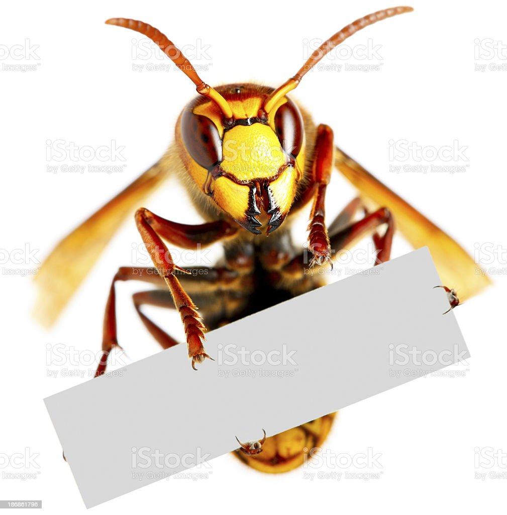 Hornet holding blank placard royalty-free stock photo