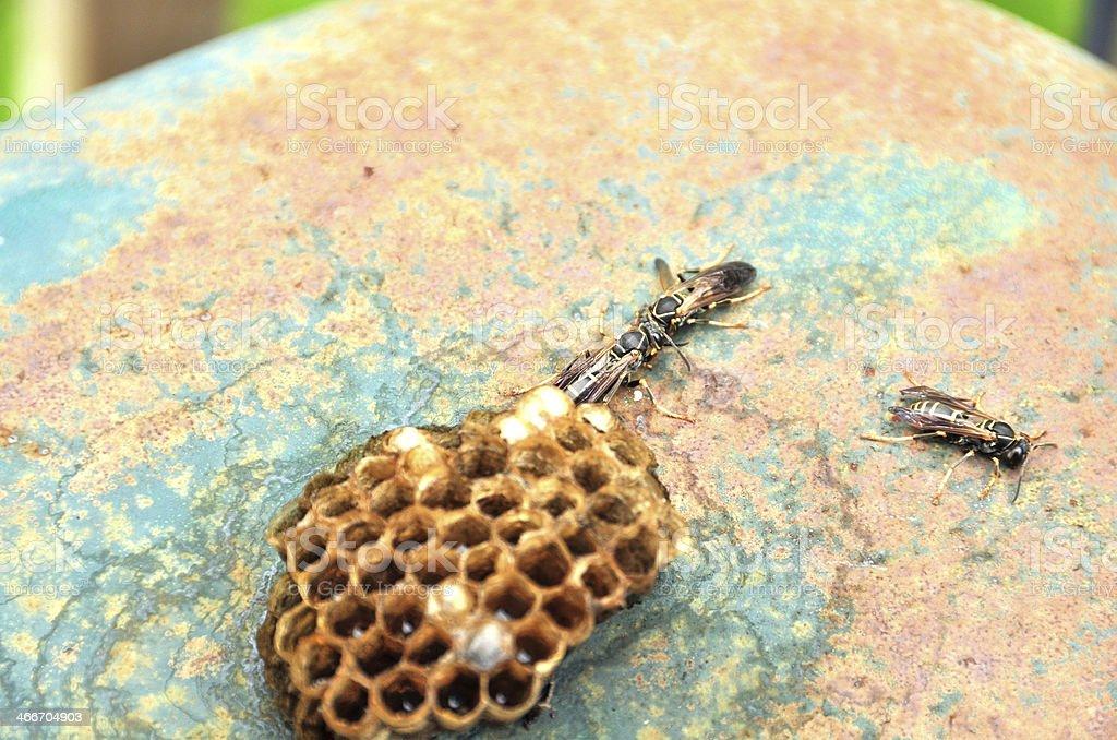 Hornet paper nest royalty-free stock photo