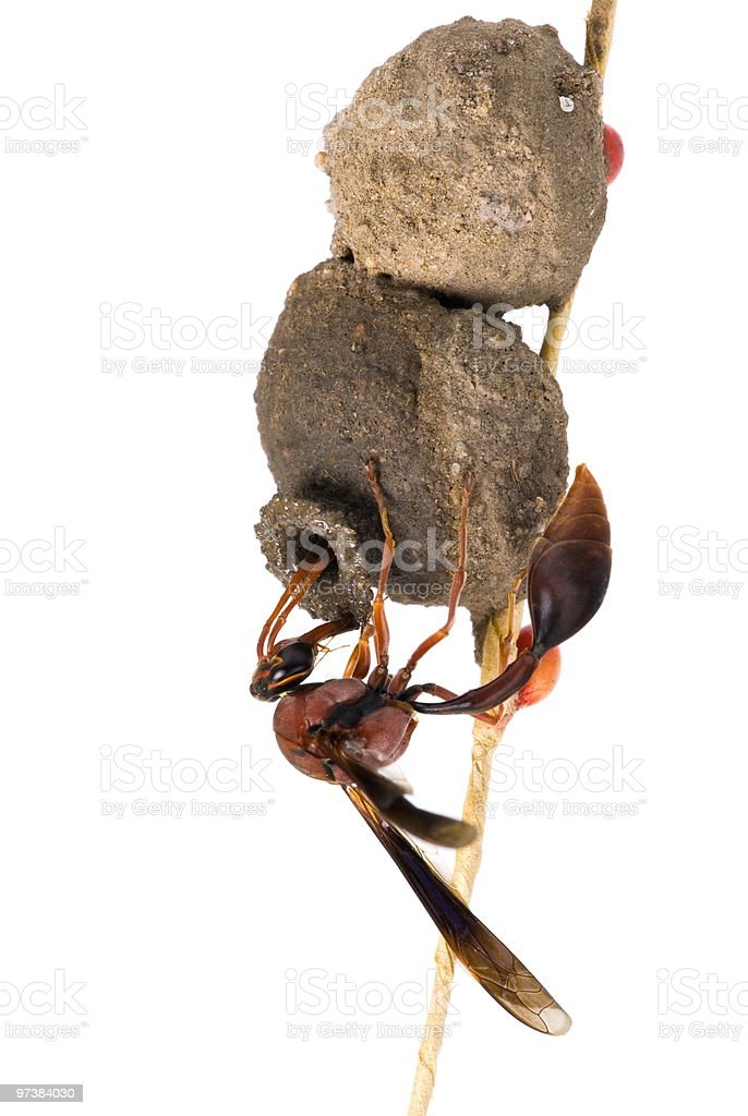 Hornet stock photo