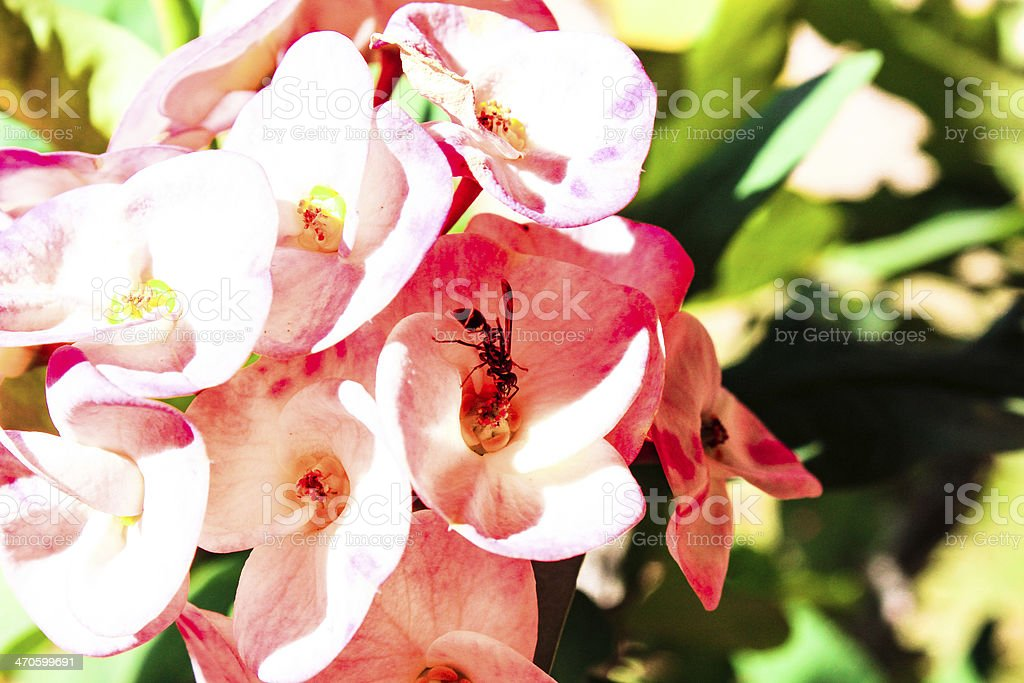 hornet  pollinate on pink flower background stock photo