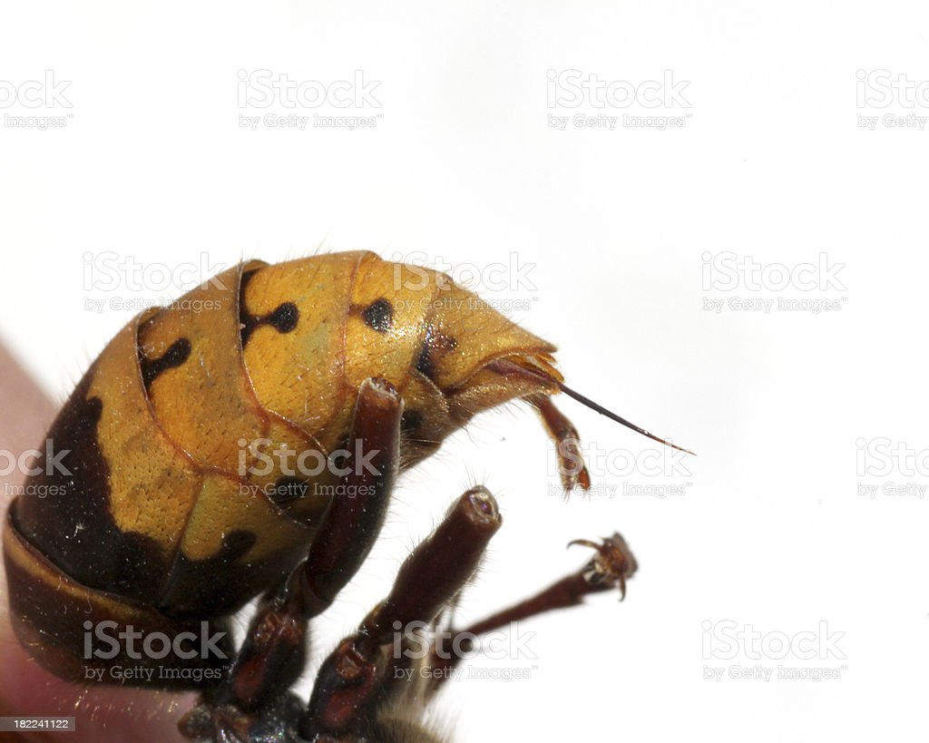 hornet sting royalty-free stock photo