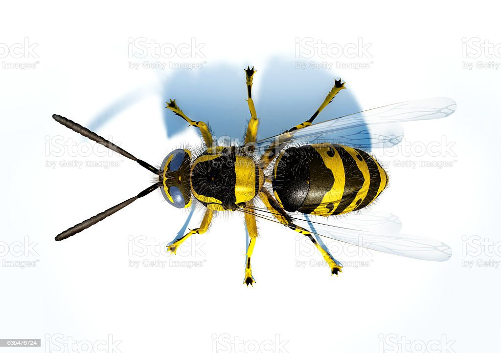 Hornet wasp on white surface viewed from the top. stock photo