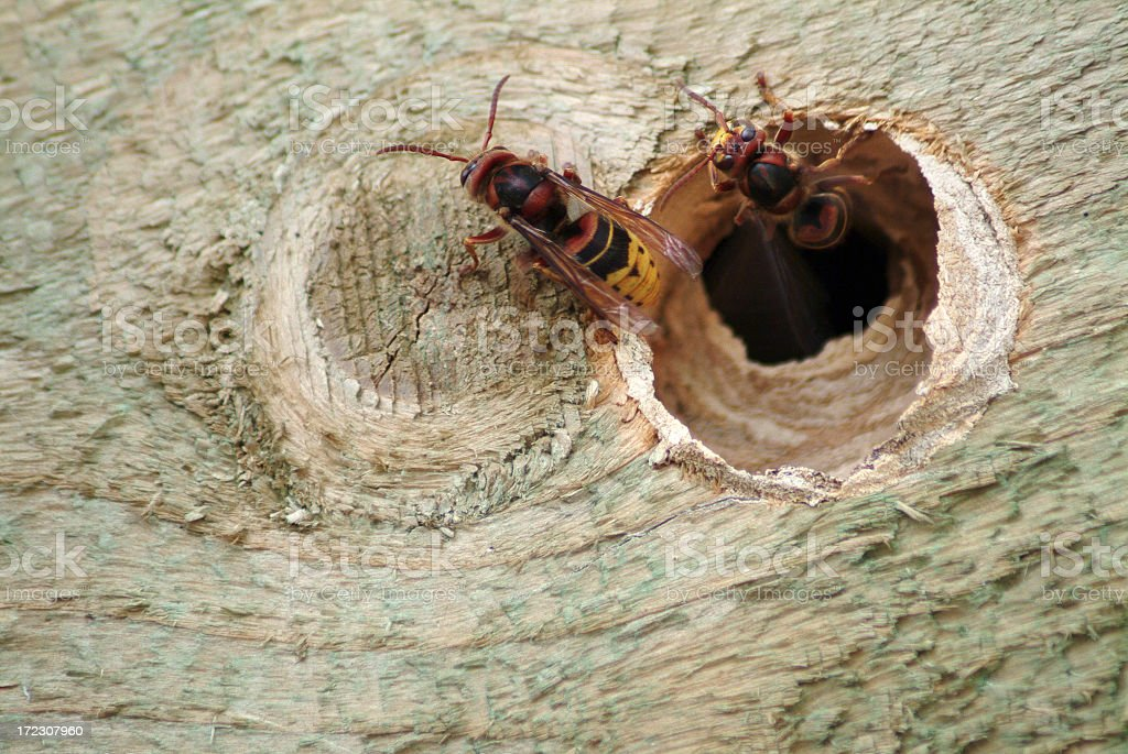 Hornets crawling from their hole royalty-free stock photo