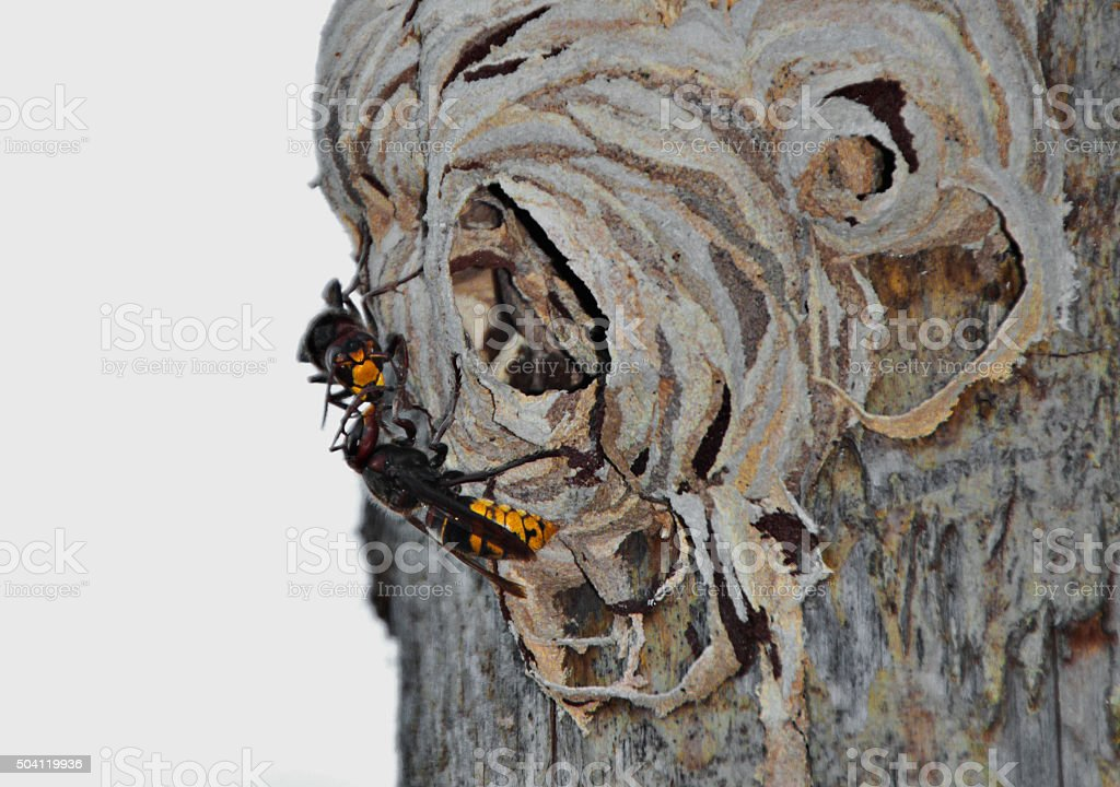 hornets' invasion stock photo