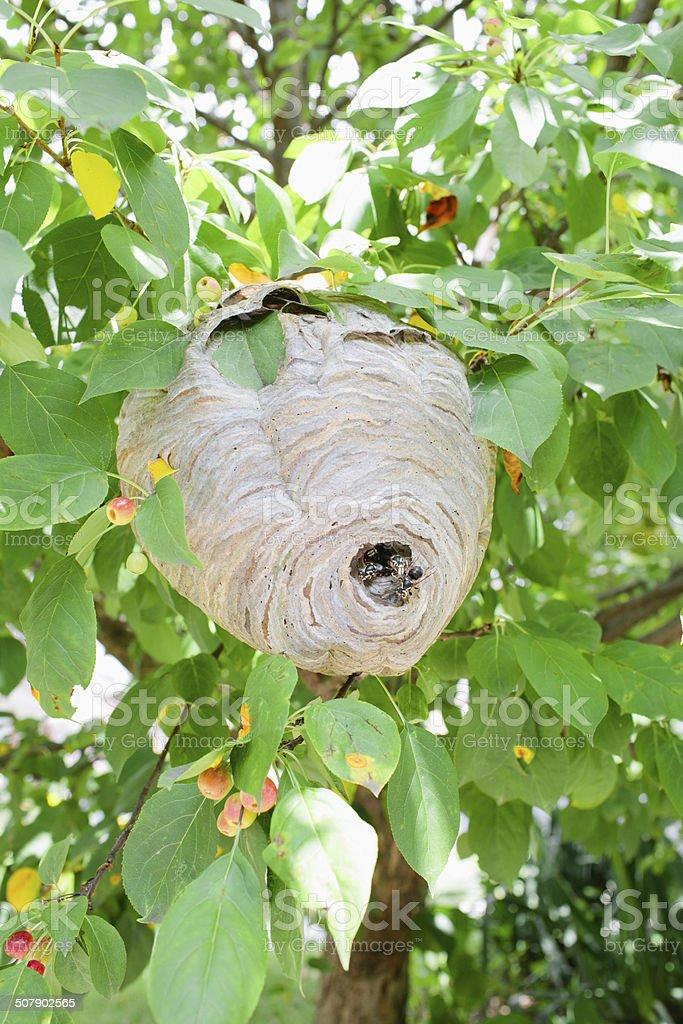 Hornet's Nest royalty-free stock photo