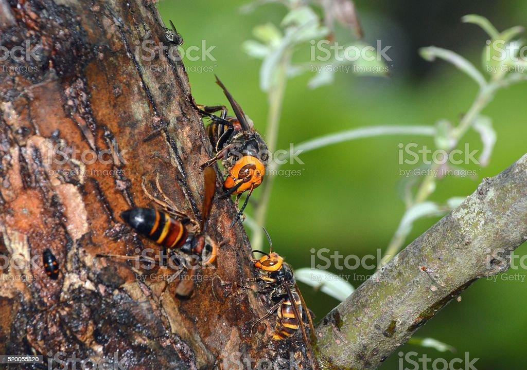 Hornets stock photo