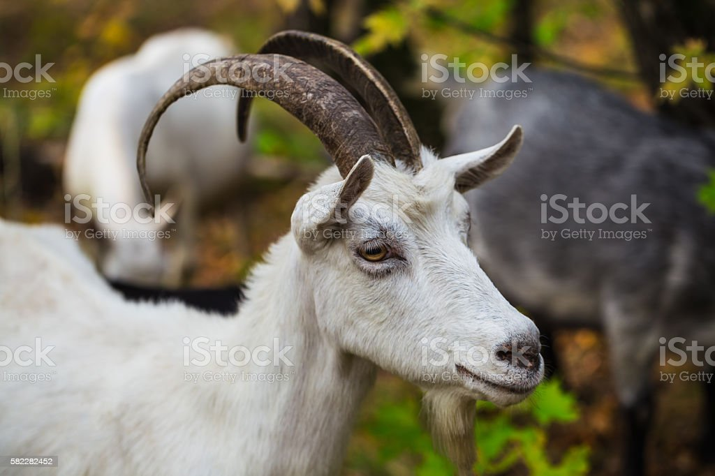 Hornless brown goat at the meadow stock photo