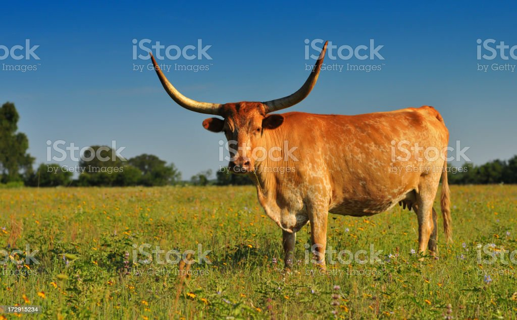 Horns (longhorn cow in beautiful field of wildflowers) stock photo