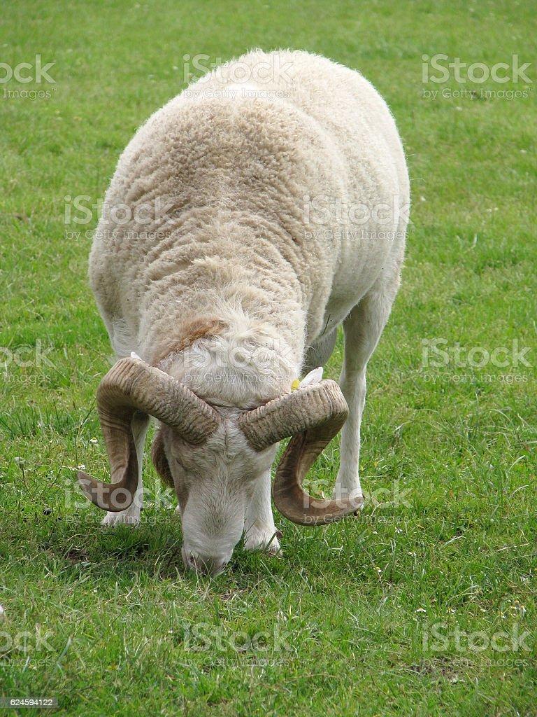 Horny ram stock photo