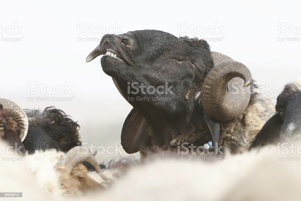 Horny Ram royalty-free stock photo