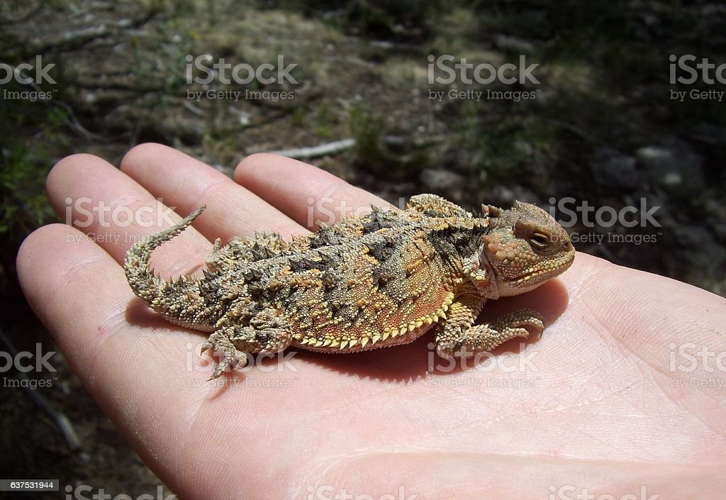 Horny Toad Lizard On A Hand stock photo