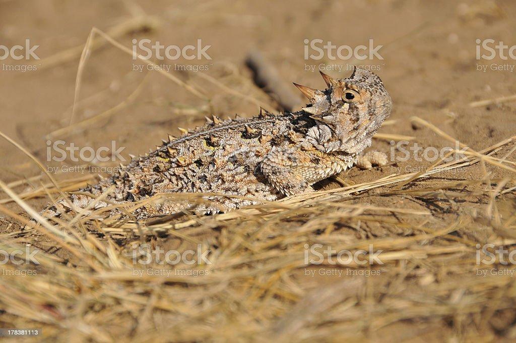 Horny Toad stock photo