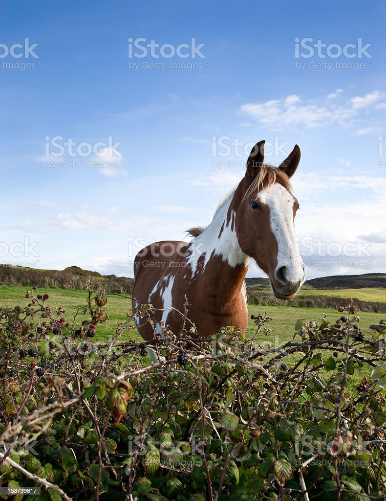 Horse and blackberry hedgerow. stock photo
