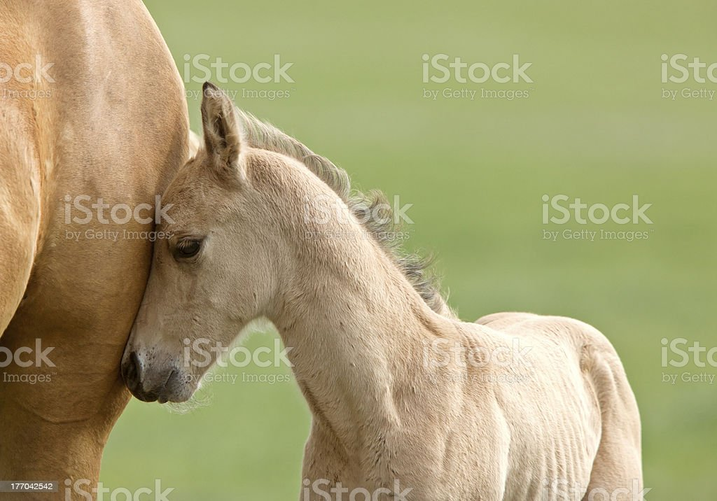 Horse and colt stock photo