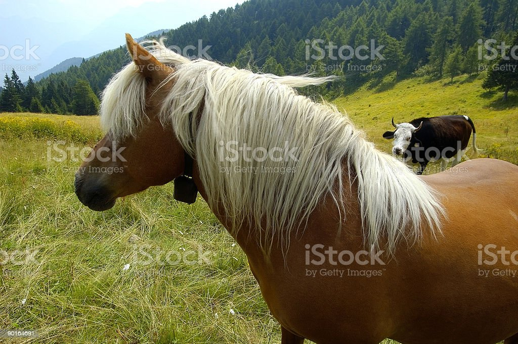 Horse and Cow royalty-free stock photo