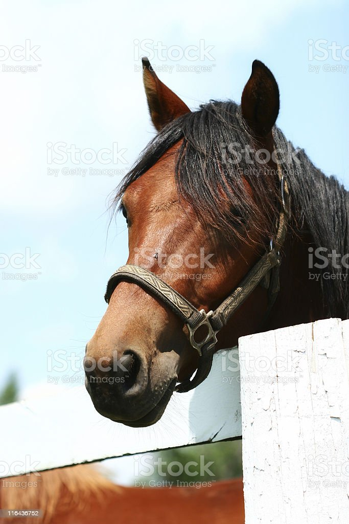 Horse and Fence royalty-free stock photo