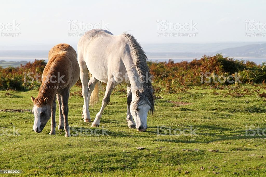 Horse and foal on moorland stock photo