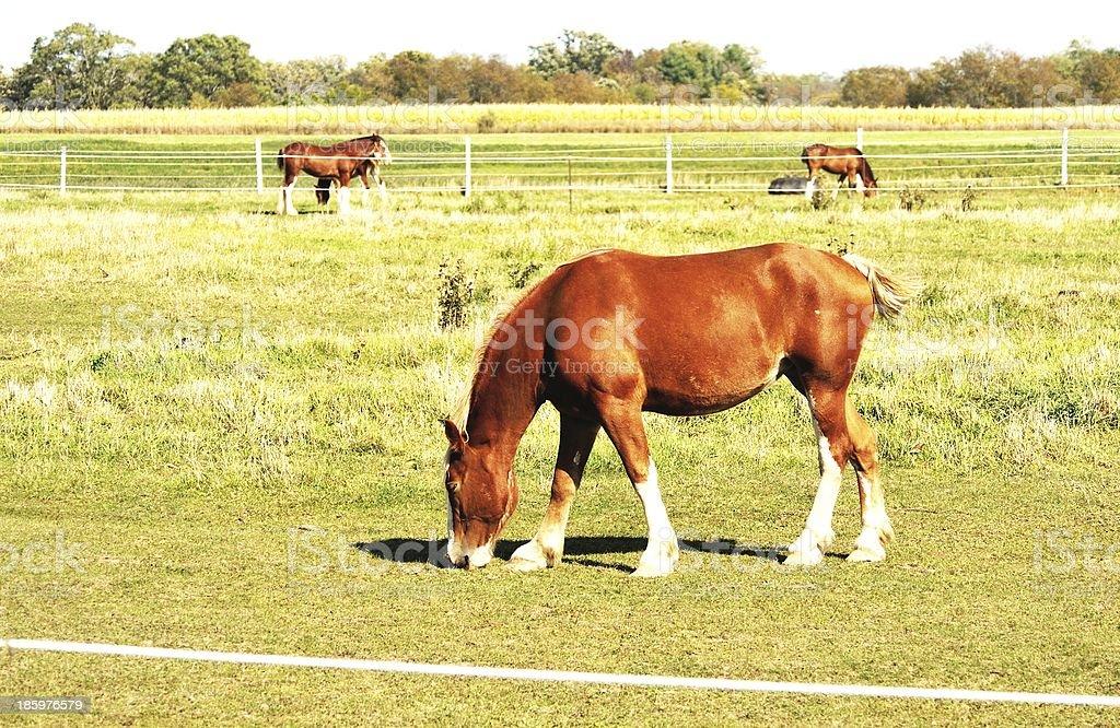 Horse and Horses royalty-free stock photo