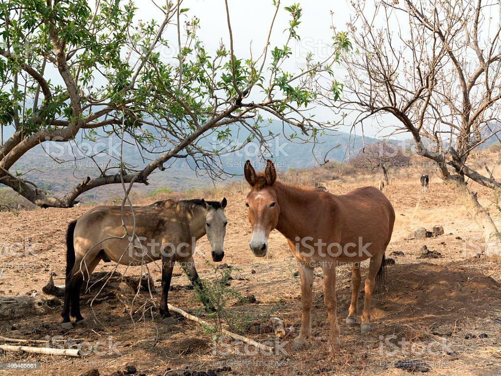 Horse and Mule royalty-free stock photo