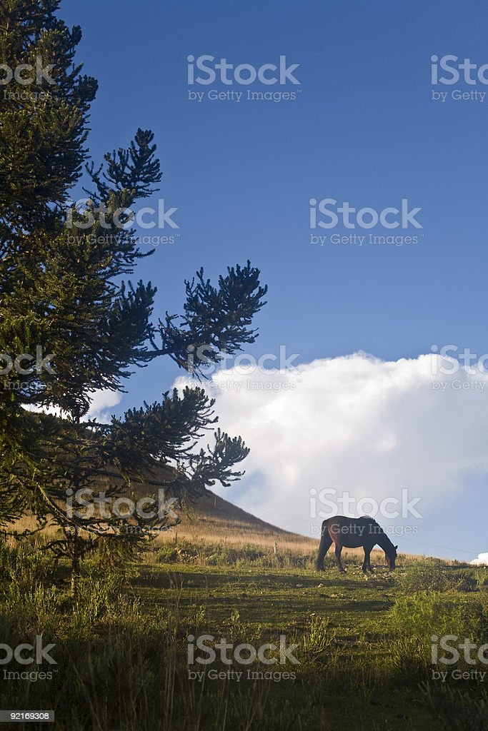 Horse and Pine Tree royalty-free stock photo