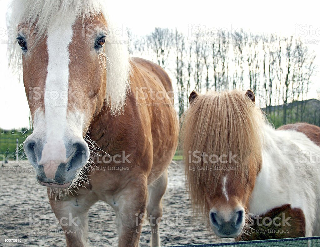 Horse and Pony royalty-free stock photo