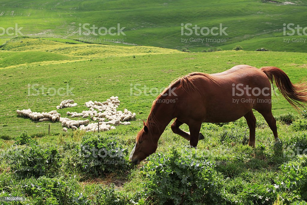 Horse and Sheepes royalty-free stock photo