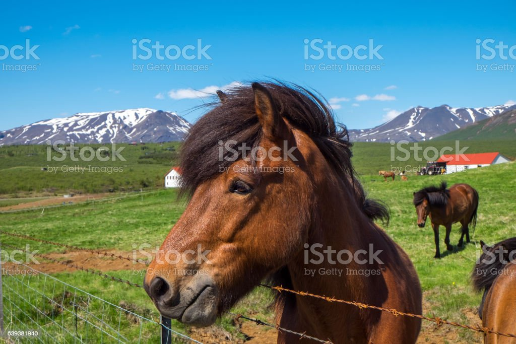 Horse at a farm in Iceland stock photo