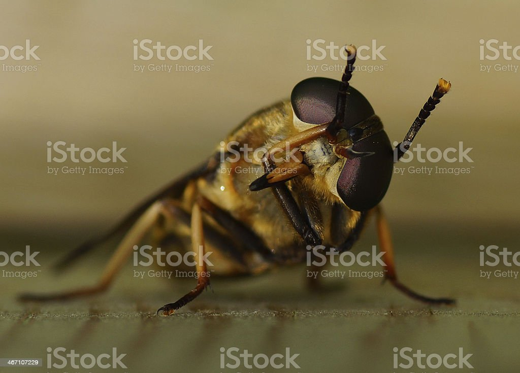 Rossbremse putzt sich - Makro royalty-free stock photo