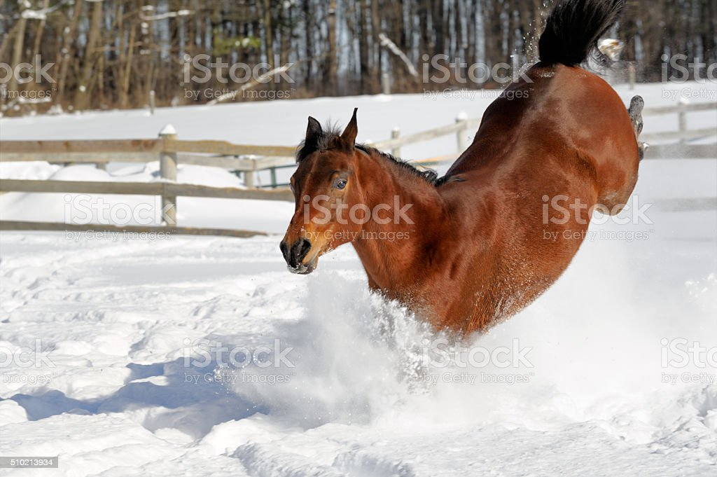 Horse Bucking Through Deep Snow, Showing Off in Excited Display stock photo