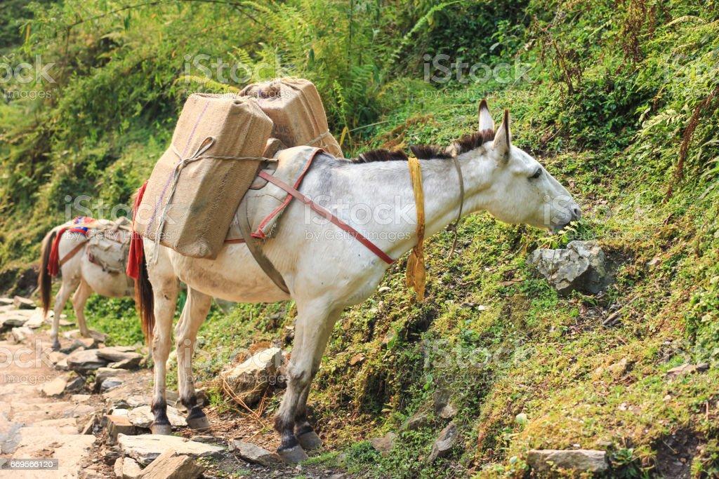 Horse caravan in Nepal stock photo