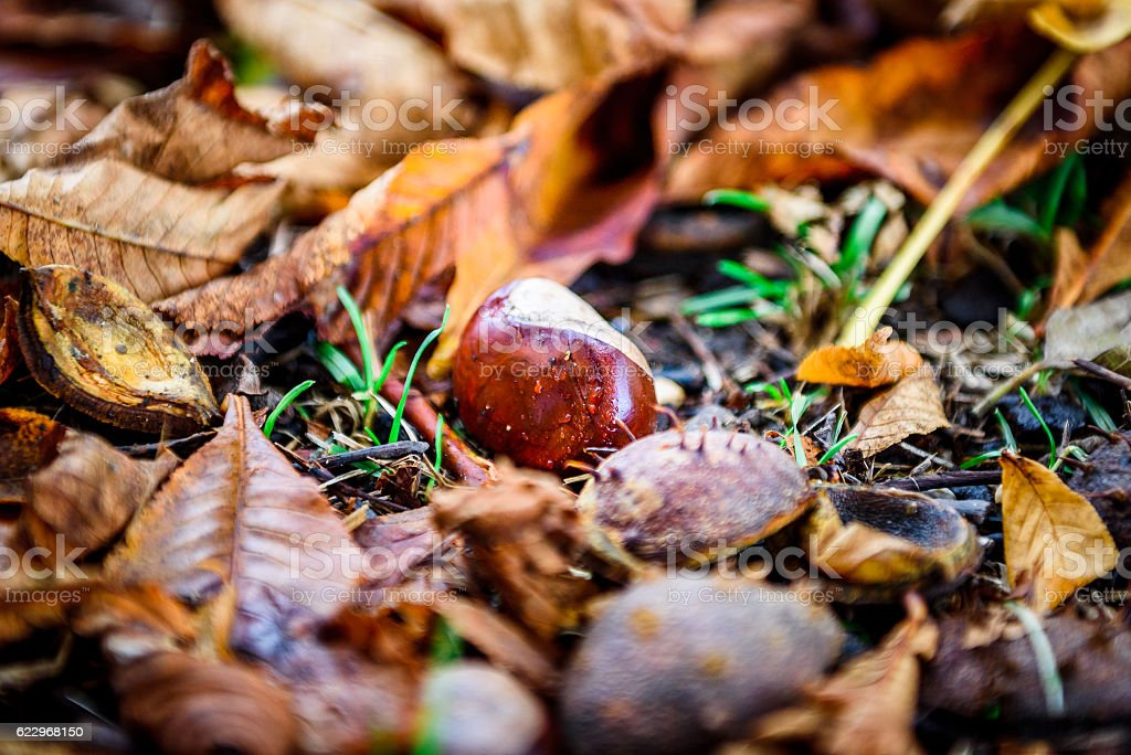 Horse chestnut - Aesculus hippocastanum on forest floor with lea stock photo