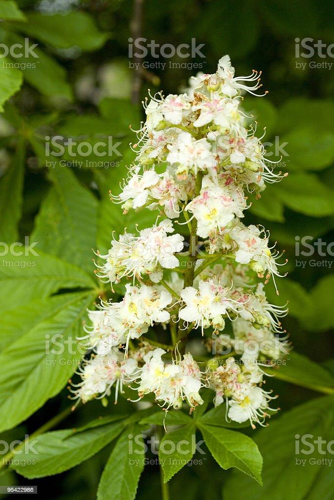 Horse chestnut flower stock photo