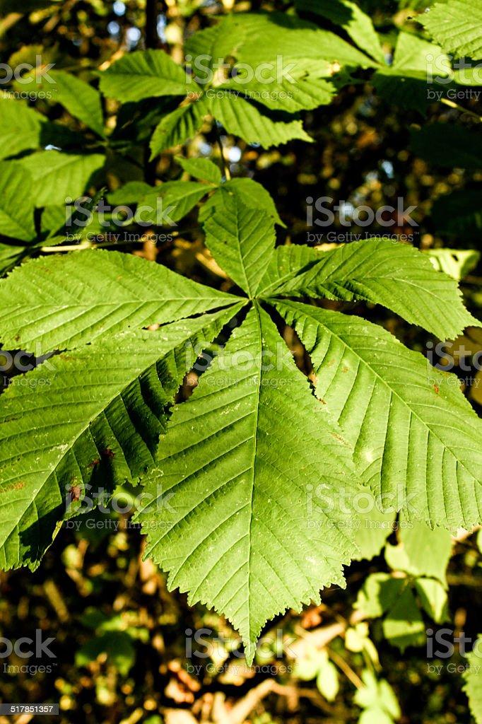 Horse Chestnut Leaf royalty-free stock photo
