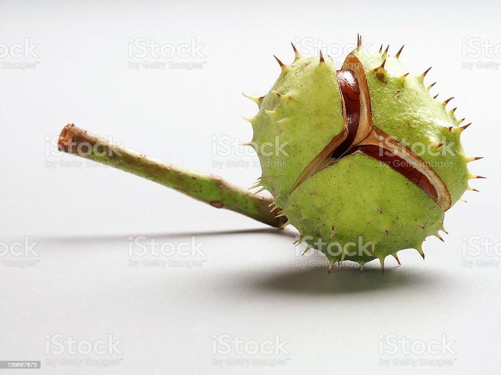 Horse chestnut (Aesculus hippocastanum) stock photo