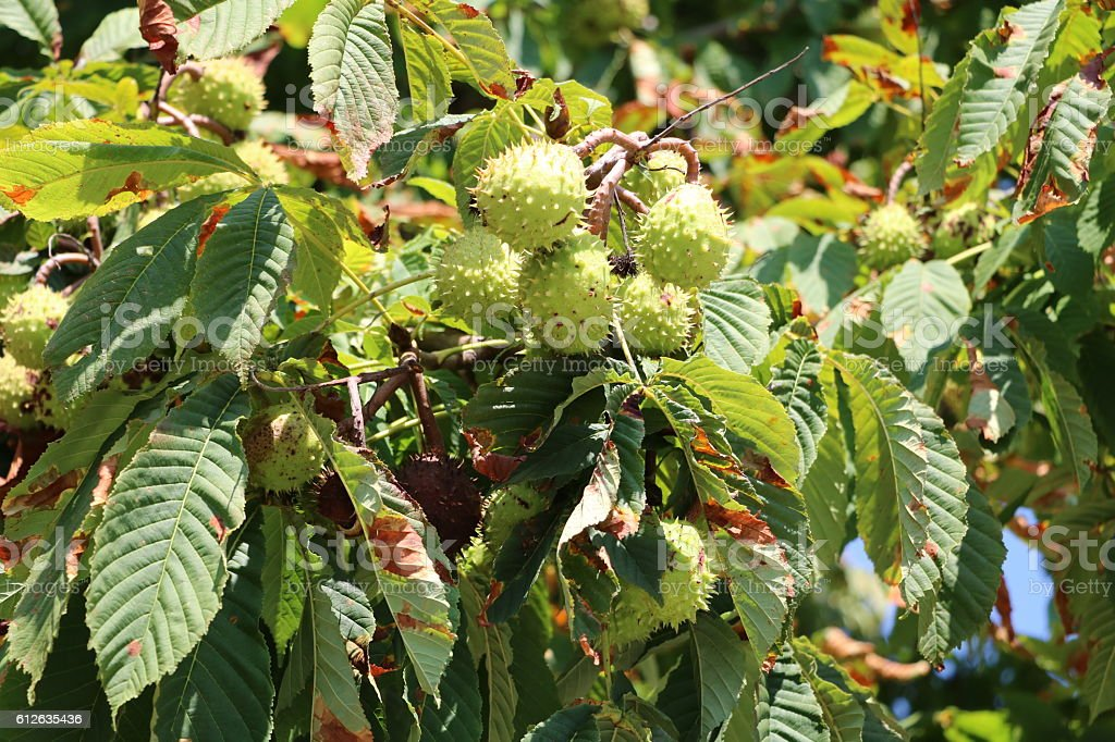Horse Chestnut ripe on the tree in fall stock photo