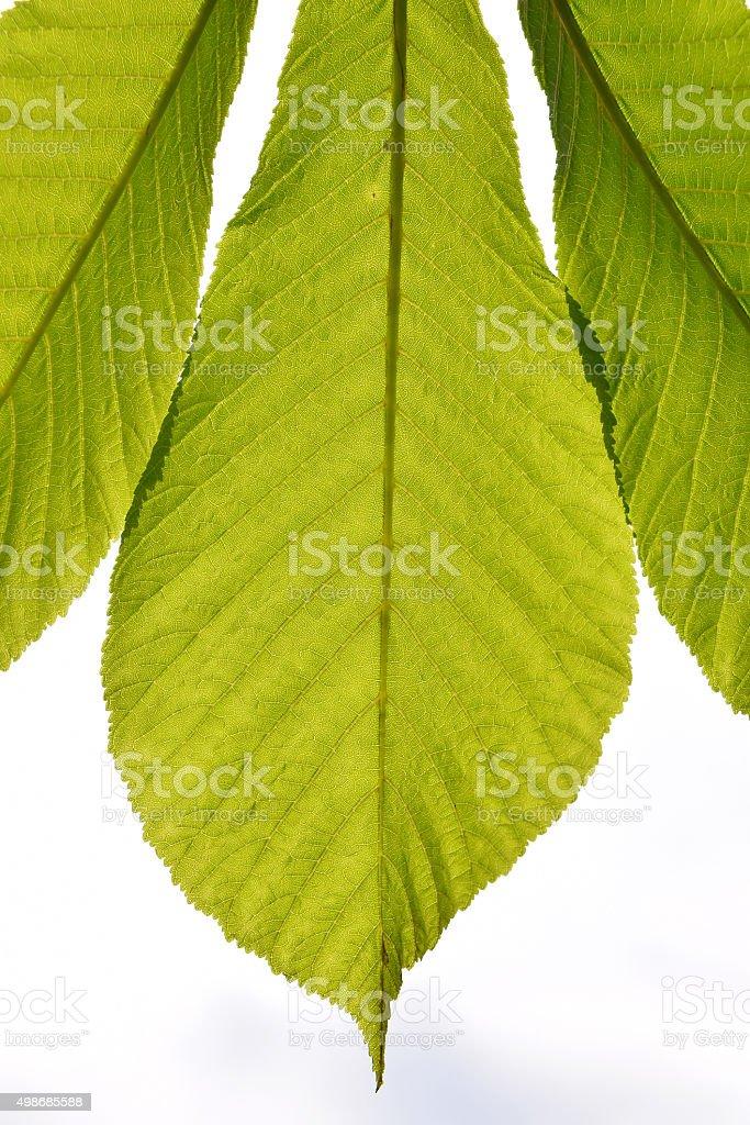 Horse chestnut translucent green leave in back lighting on white royalty-free stock photo