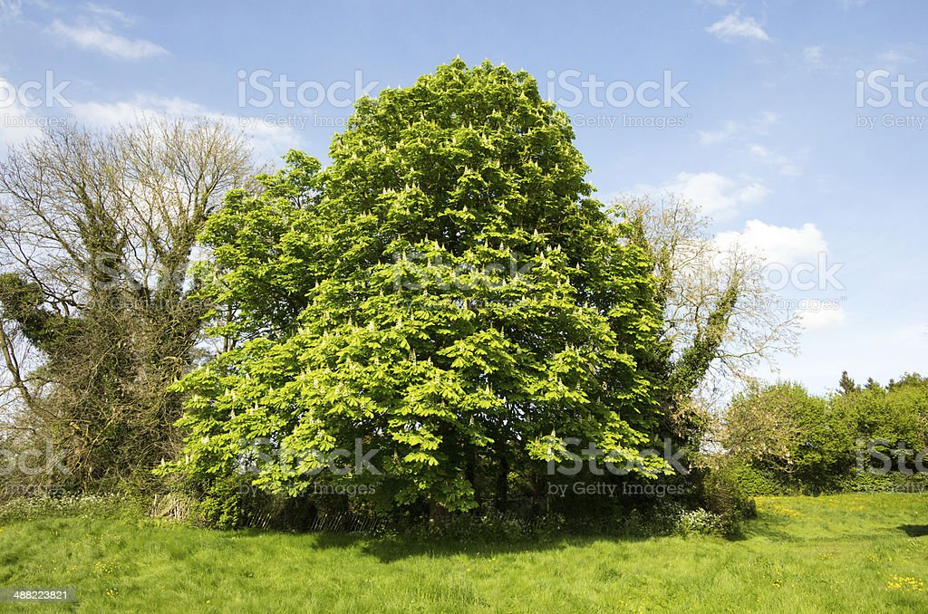 Horse Chestnut Tree in Kent, England stock photo