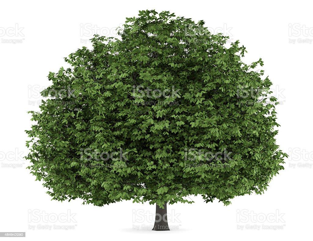 horse chestnut tree isolated on white background stock photo