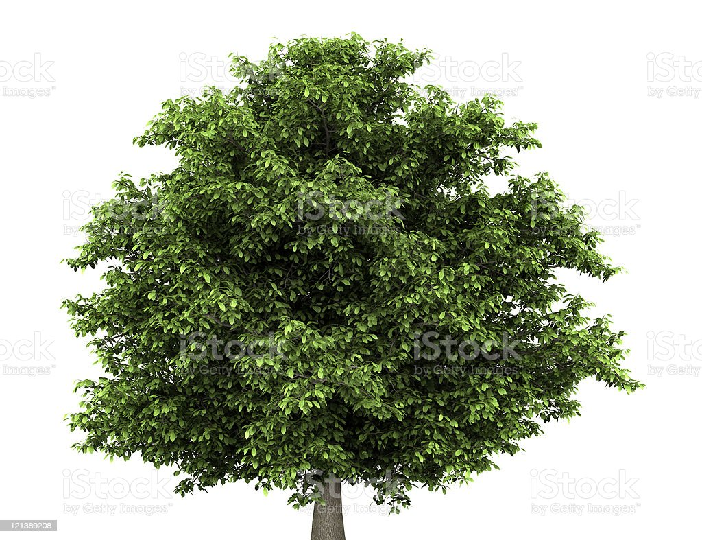 Horse chestnut tree with green leaves on white background stock photo