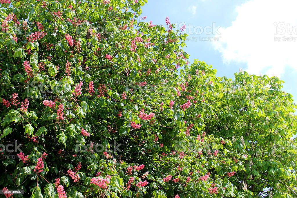 Horse chestnut trees (aesculus) with red and white flowers stock photo