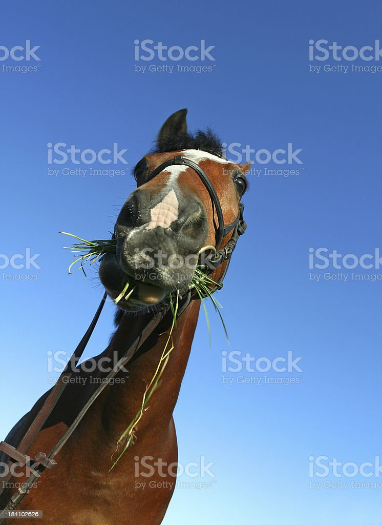 Horse chewing grass, Norway royalty-free stock photo