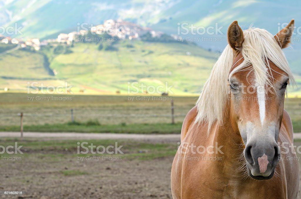 Horse close-up and Castelluccio di Norcia in the background stock photo