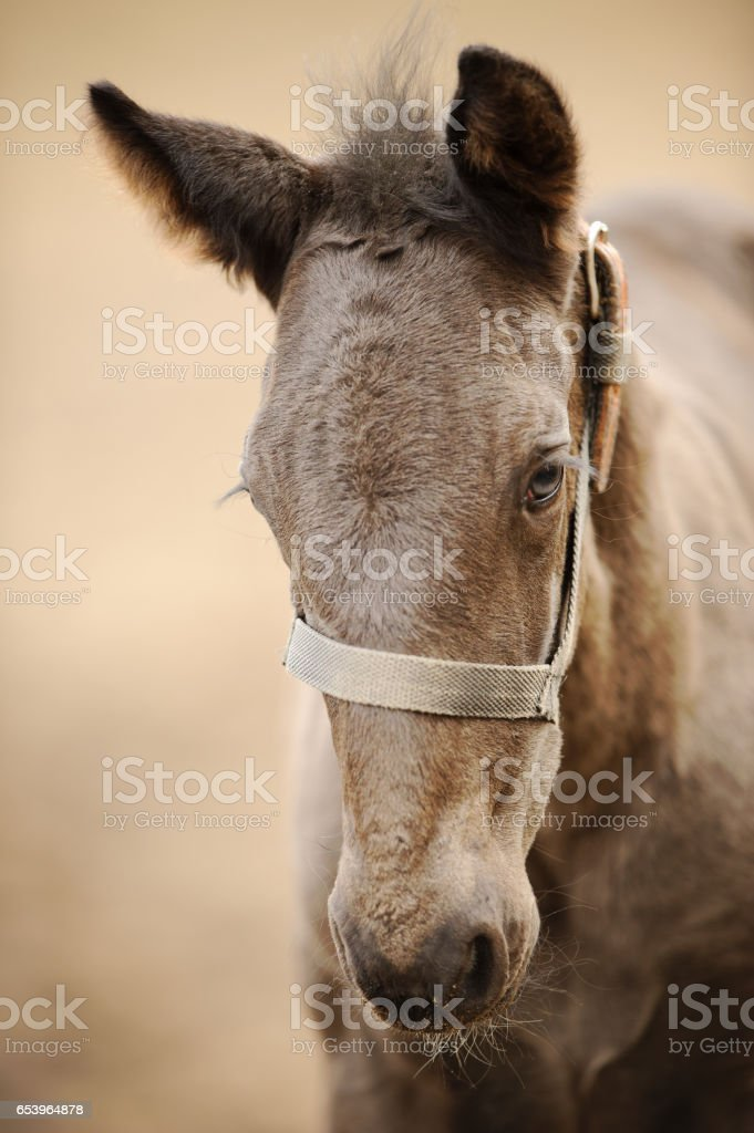Horse colt profile from front side. Nice brown newborn foal stock photo