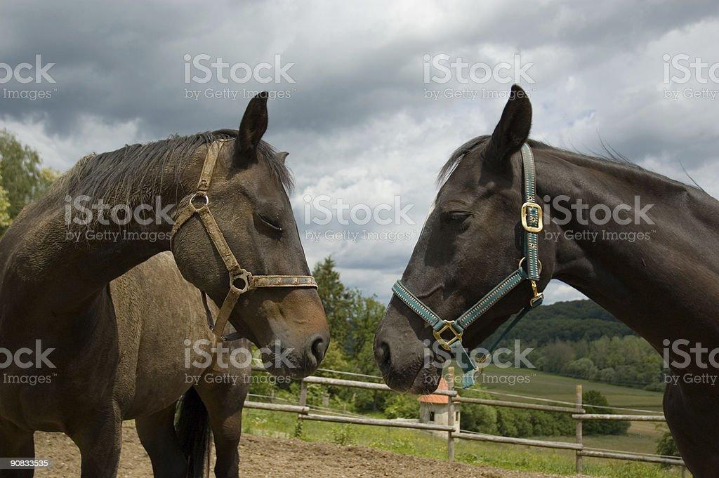 Horse couple portrait stock photo