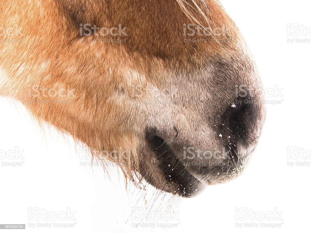 horse detail, nose nostrils mouth stock photo