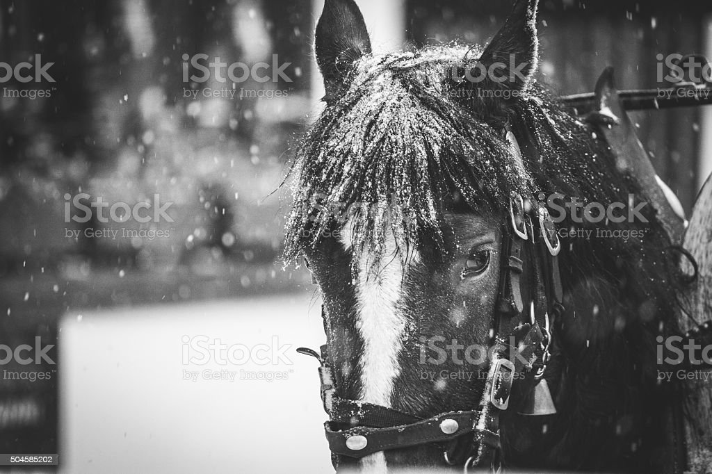 Horse drawn carriage in the street during a snowstorm stock photo