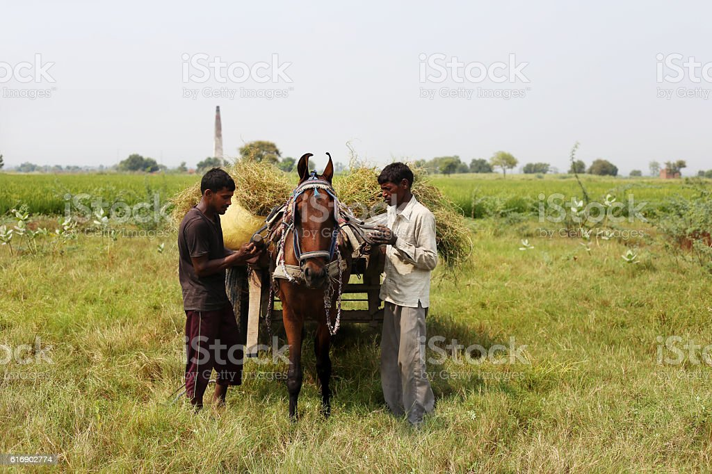 Horse Drawn In The Field stock photo